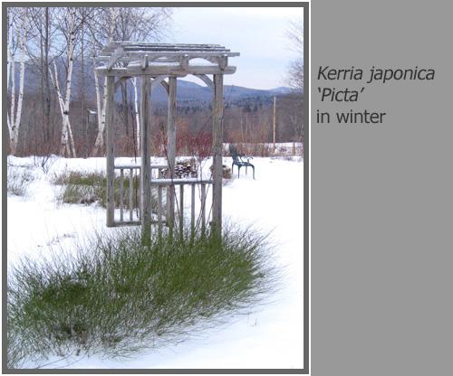 Kerria_japonica