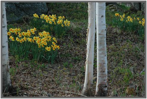 Daffodils.D.5.09