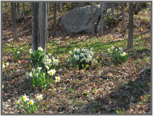 Daffodils.b.5.09