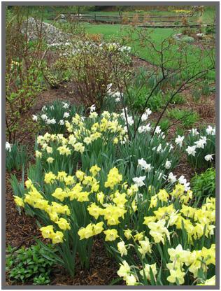 Daffodils,A.5.09