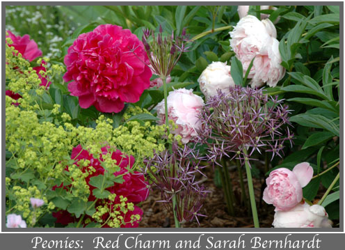 Peonies Red Charm and Sarah Bernhardt