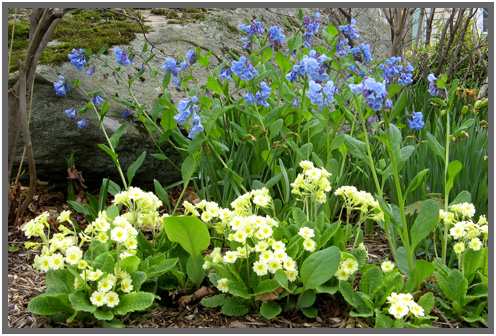 Cowslips_and_bluebells