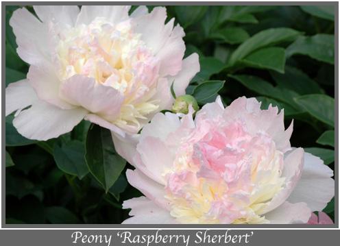 Peony Raspberry Sherbert