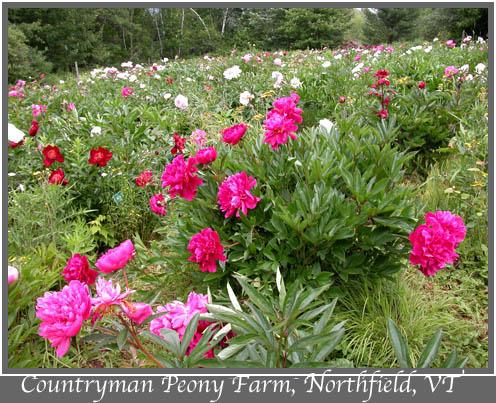 Countryman peony farm