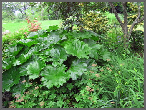 The North Country Gardener Big Leaves For Cold Climate Gardeners